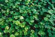 clover, trefoil, shamrock
