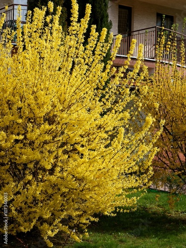 Obraz na płótnie Krzew forsycji z żółtymi kwiatami