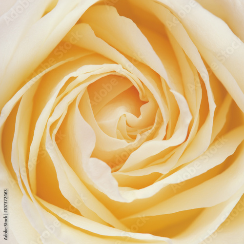 White Rose Flower Petals - 107372463