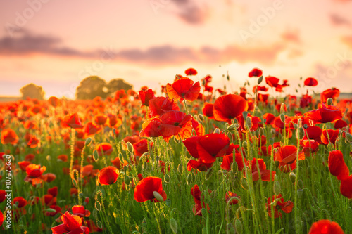 Ingelijste posters Poppy Poppies field meadow in summer