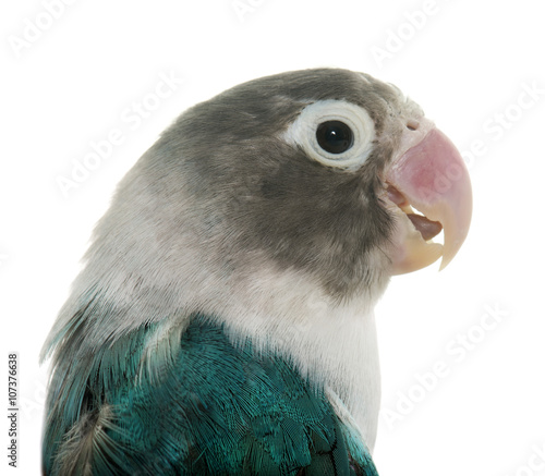 Leinwand Poster blue masqued lovebird
