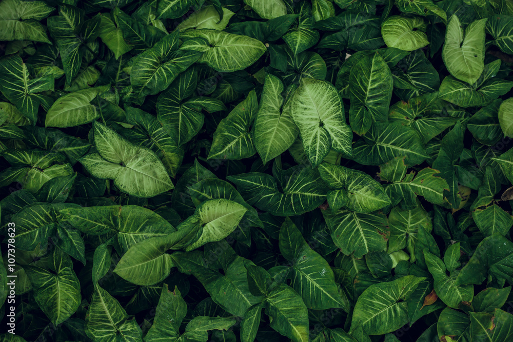 Fototapety, obrazy: Green leaf texture. Leaf texture background