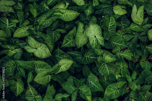Green leaf texture. Leaf texture background Fototapeta