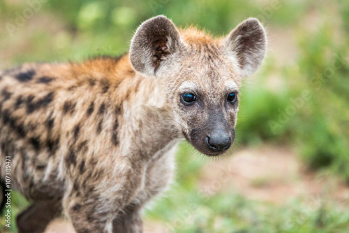 Staande foto Hyena Starring Spotted hyena cub in the Kruger National Park, South Africa.