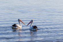 Two Pelicans Floating In The O...