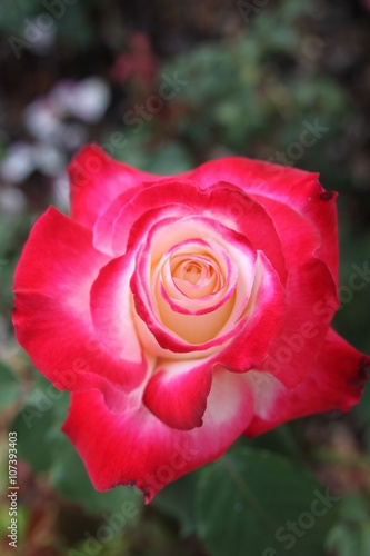 Fotografie, Obraz  Vibrant pink and yellow rose blooming