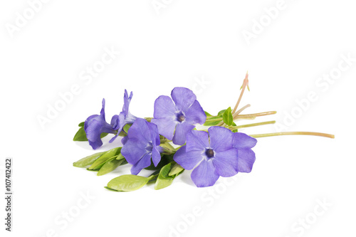 closeup bouquet of Lesser periwinkle (Vinca minor) isolated on white Canvas-taulu