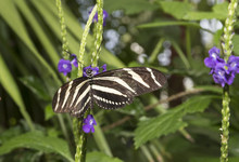 Hewitson's Longwing, (Heliconi...
