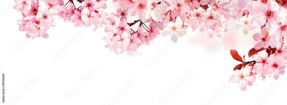 Fototapety, obrazy: Verträumte Kirschblüten als Bordüre auf weißem Hintergrund