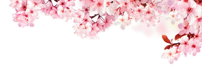 Panel Szklany Podświetlane Panorama Verträumte Kirschblüten als Bordüre auf weißem Hintergrund