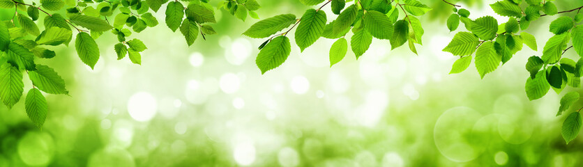 Panel SzklanyGrüne Blätter und leuchtender Panorama Hintergrund bilden Rahm