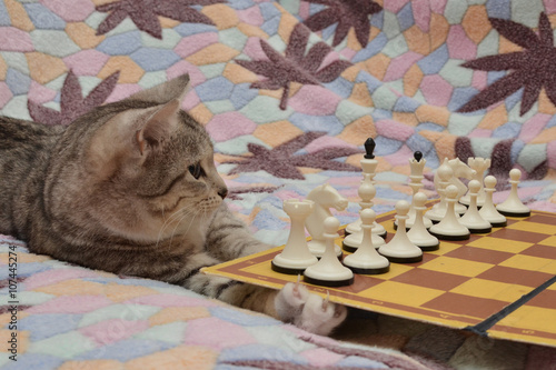 Fototapety, obrazy: Cat and a chess board.