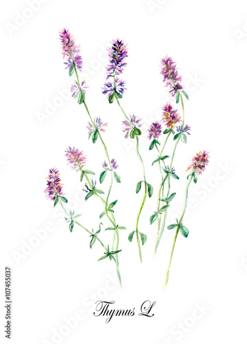 Thyme. Collection herb. Watercolor hand drawn illustration. Botanical illustration - 107455037