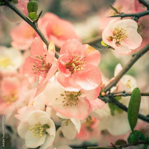 Foto op Canvas Azalea Cherry blossoms