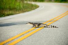 American Alligator Crossing Th...