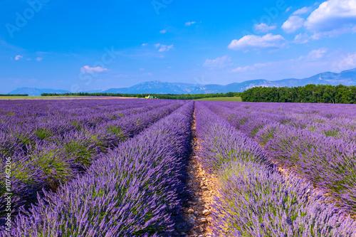Fototapeta Lavender field summer landscape near Valensole obraz na płótnie