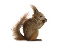 European Red Squirrel (Sciurus...