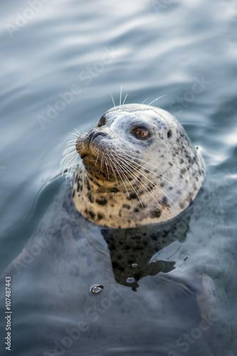 Fototapeta premium Seal at Fisherman's Wharf, Victoria, BC