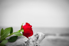 Red Rose On The Beach. Color A...