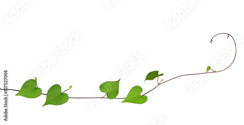 green heart shaped leaves climbing plant with budding flower iso