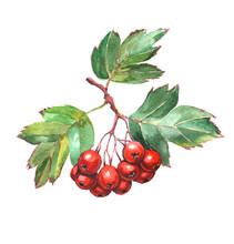 Hawthorn Berries - Watercolor ...