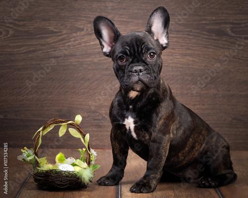 Deurstickers Franse bulldog Dog French Bulldog. Portrait of sitting on a wooden background. Easter basket.