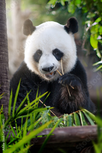 Poster Panda portrait of nice panda bear eating in summer environment