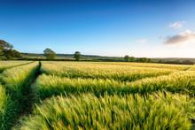 Cornish Barley Field