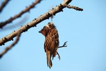 Dead Bird Hanging On Dry Tree.