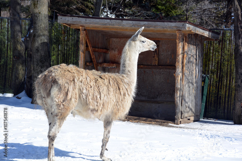 the llama lama glama is a south american camelid widely used as a