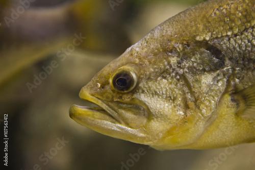 Fotobehang Vissen Large Mouth Bass