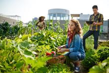 Friendly Team Harvesting Fresh...
