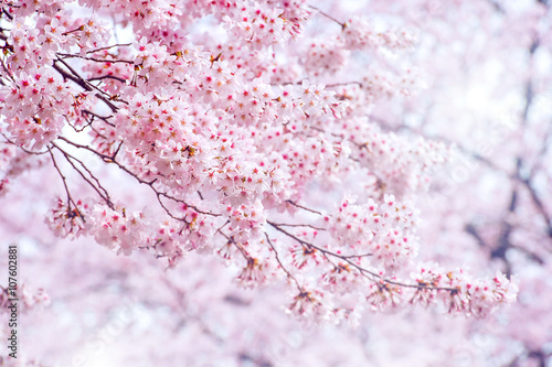 Cherry Blossom in spring with Soft focus, Sakura season in korea Poster