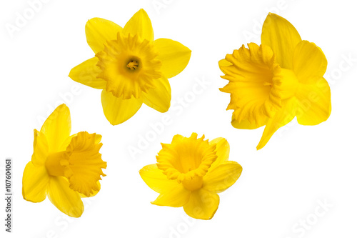 Deurstickers Narcis Yellow daffodil petals on a white background.