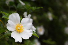Closeup White Cherokee Rose Flower With Pollen