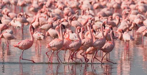 The courtship dance flamingo. Kenya. Africa. Nakuru National Park. Lake Bogoria National Reserve. An excellent illustration.