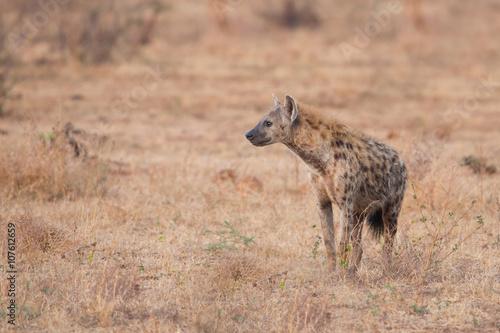 In de dag Hyena Spotted hyena (Crocuta crocuta), Kruger Park, South Africa