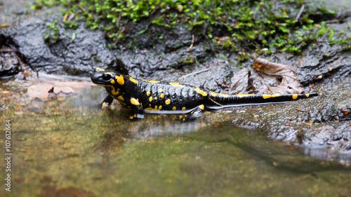 Poster Crocodile Feuersalamander am Wasser