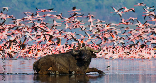 Foto op Aluminium Flamingo Buffalo lying in the water on the background of big flocks of flamingos. Kenya. Africa. Nakuru National Park. Lake Bogoria National Reserve. An excellent illustration.