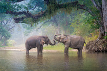 Asian Elephants In A Natural R...