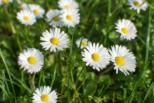 Foto op Canvas Madeliefjes Daisies in the grass