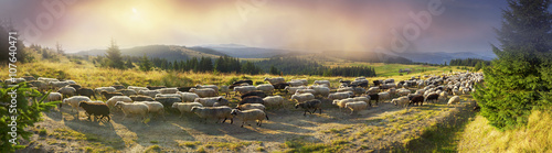 owce-pasa-sie-w-karpatach
