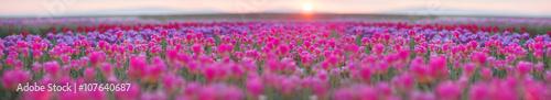 Field of tulips in Chernivtsi - 107640687