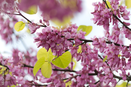 Fotografie, Obraz  Beautiful pink purple Judas tree blossom branches with soft bokeh
