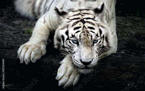 Cuadros en Lienzo White Tiger