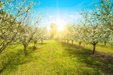 Spring Blossom Trees In Sunlight