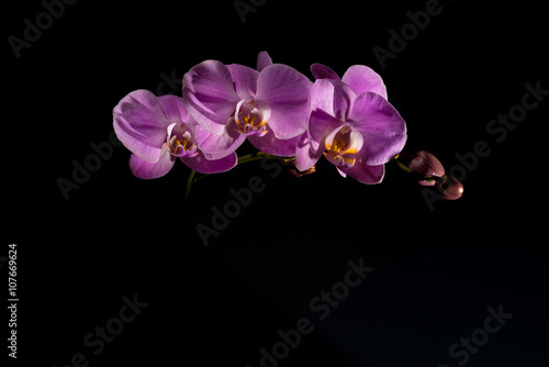 Pink orchid on the black background - 107669624