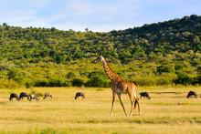 Giraffe With A Herd Of Wildebeests. Maasai Mara, Kenya