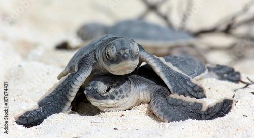 SB bébés tortues marines
