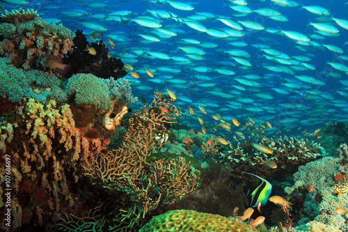 Schooling Fusiliers over a Colorful Coral Reef. Gam, Raja Ampat, Indonesia